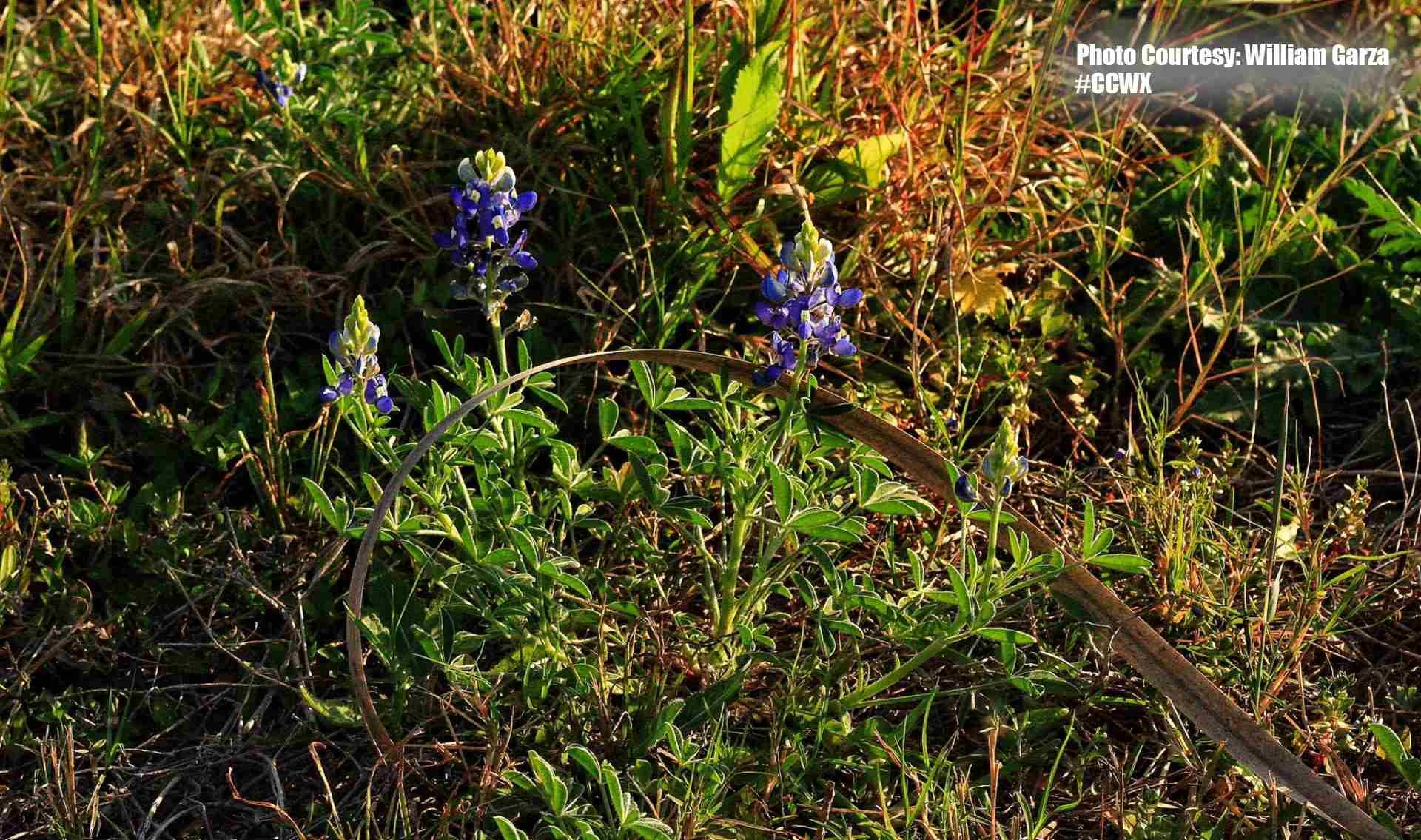 Photo Courtesy: William Garza 3/1/16 of Bluebonnets.