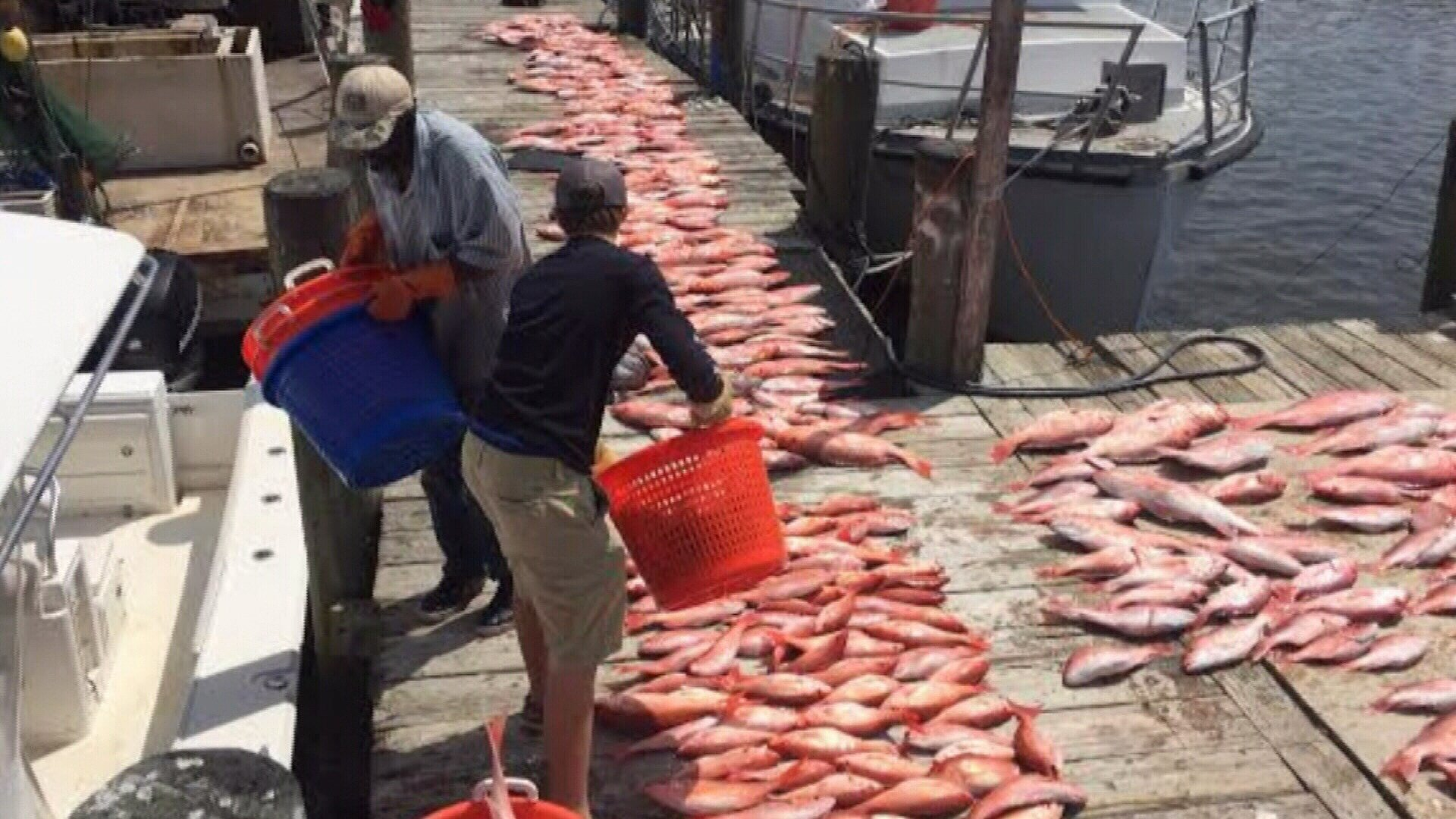 Illegally caught red snapper seized from a fishing boat. File photo.