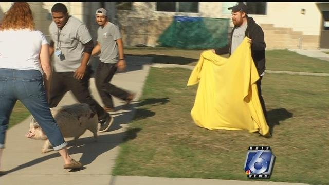 """Piggy Wiggy"" puts up a hard time leaving the Animal Care building (KRIS 6 NEWS)"