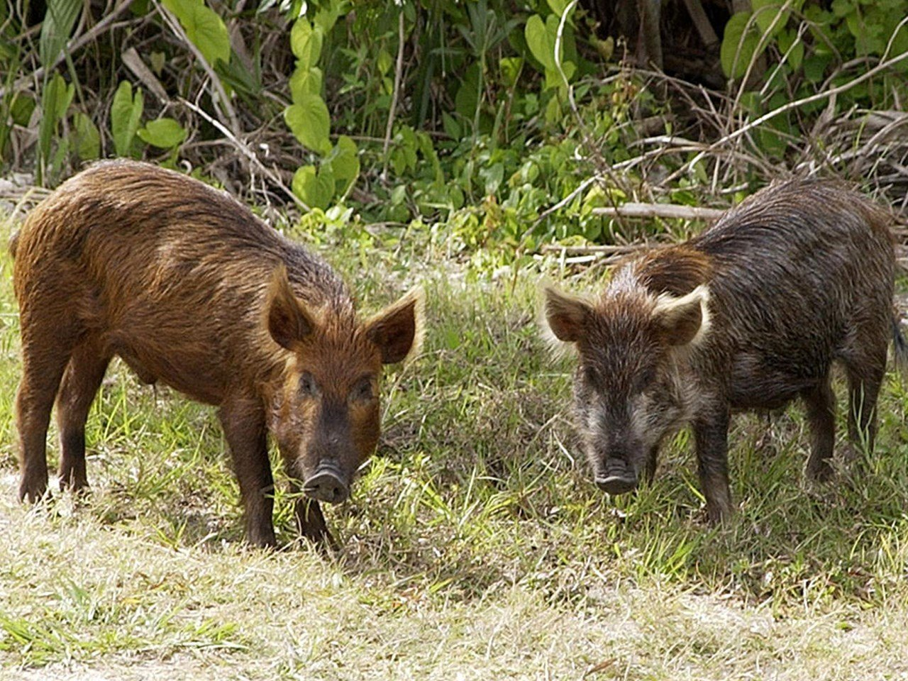 Texas lawmakers have approved hunting feral hogs from hot air balloons