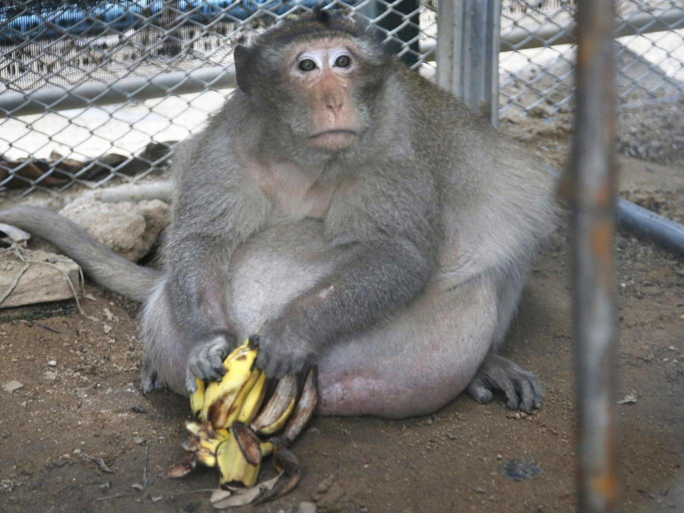 Uncle Fat, the overweight macaque. Photo courtesy Sakchai Lalit/AP