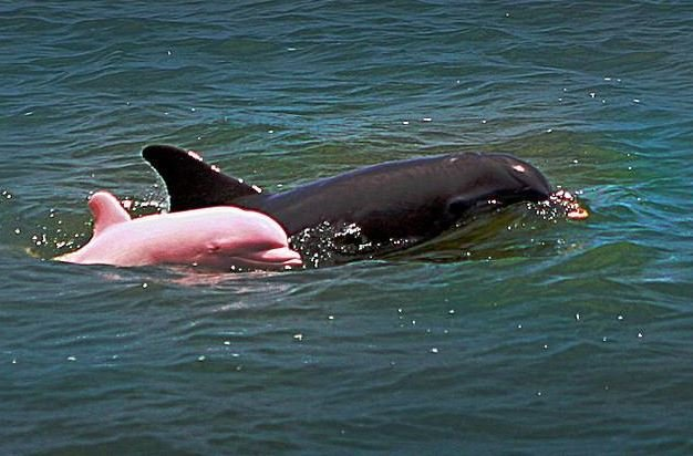 Rare pink dolphin spotted in Louisiana waterway