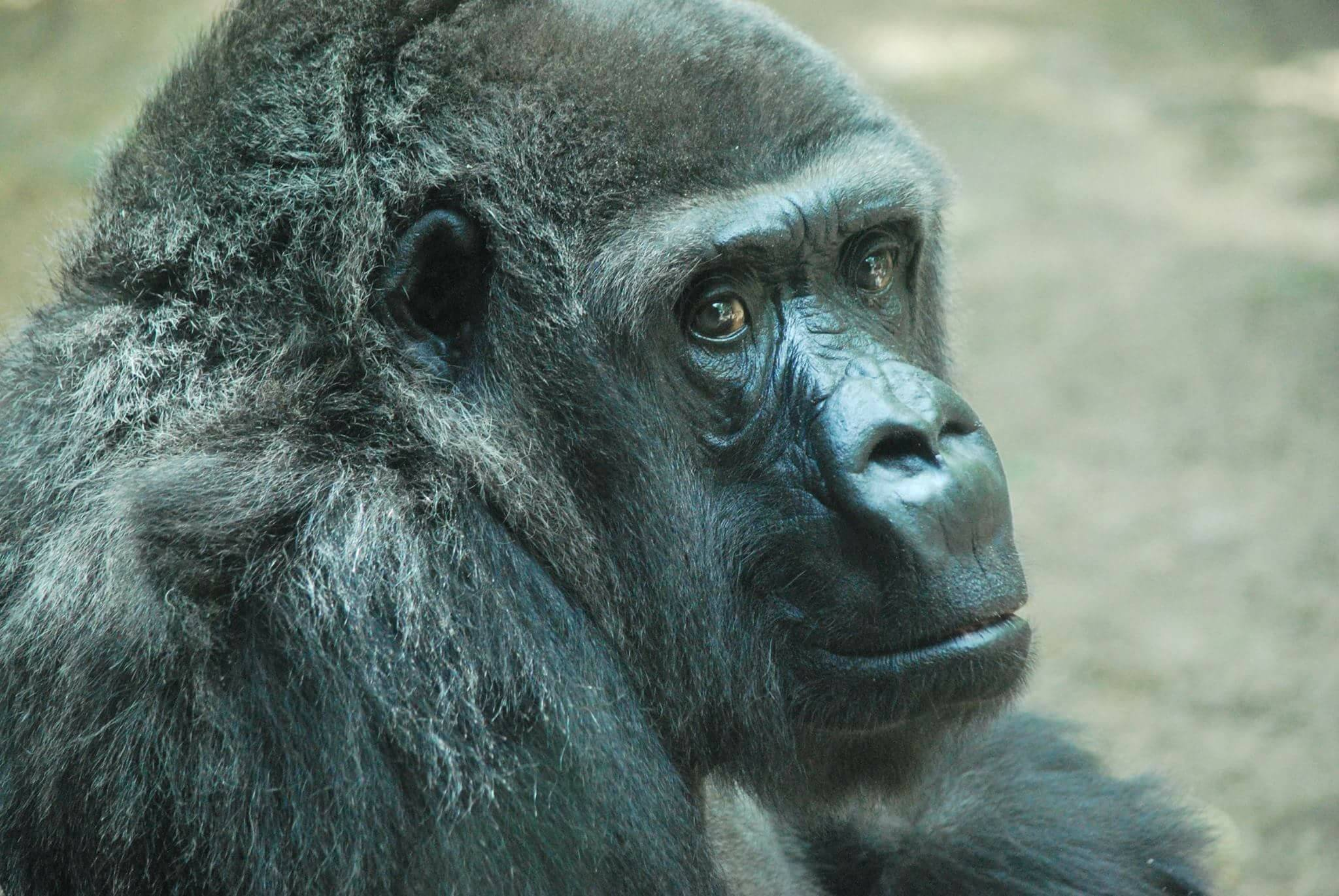 Gorilla at Topeka Zoo dies after 50 years living there