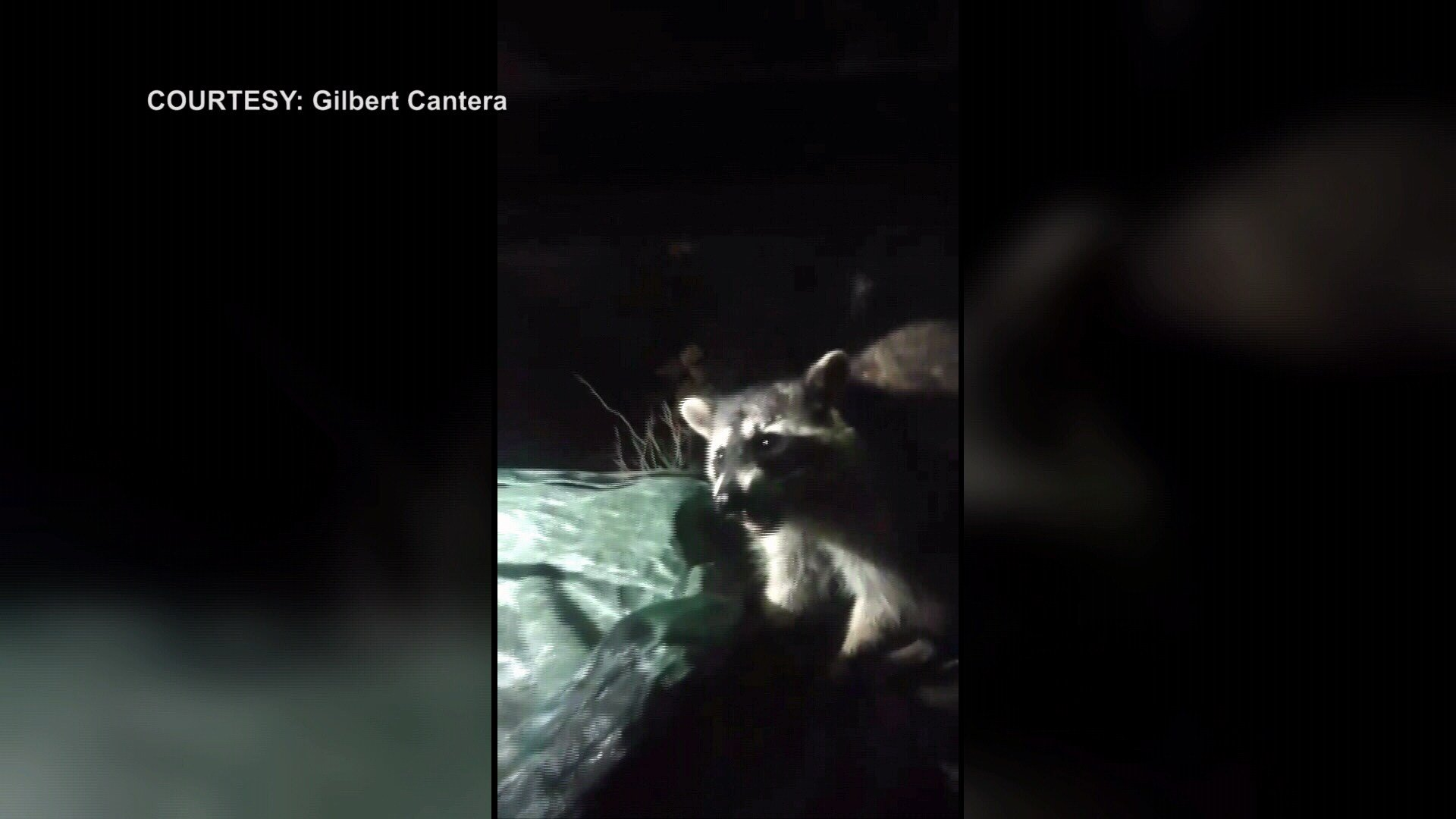 Gilbert Cantera found this raccoon outside of his home Thursday morning.