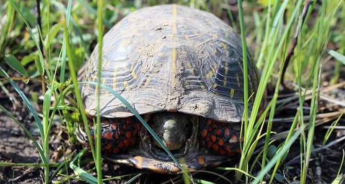 Box Turtle / Courtesy USFWS