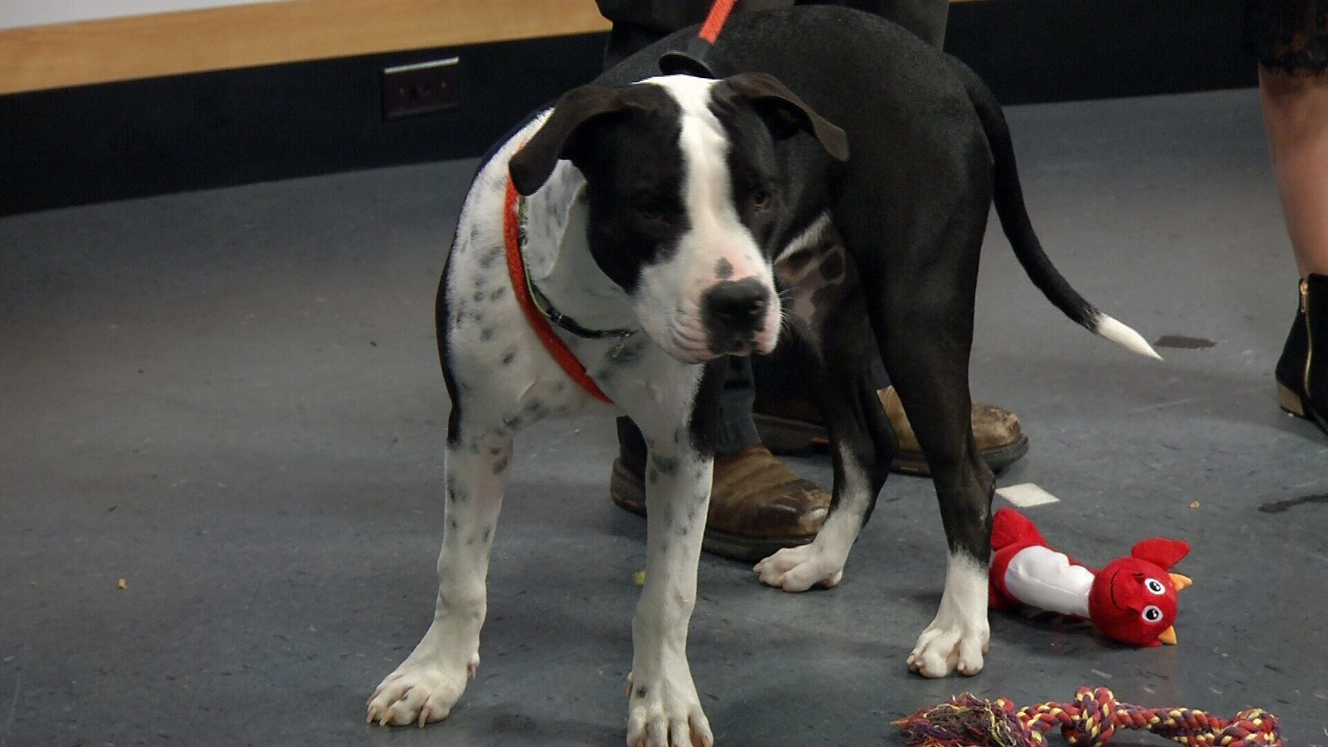 Meet our Pet of the Week, Cruiser!