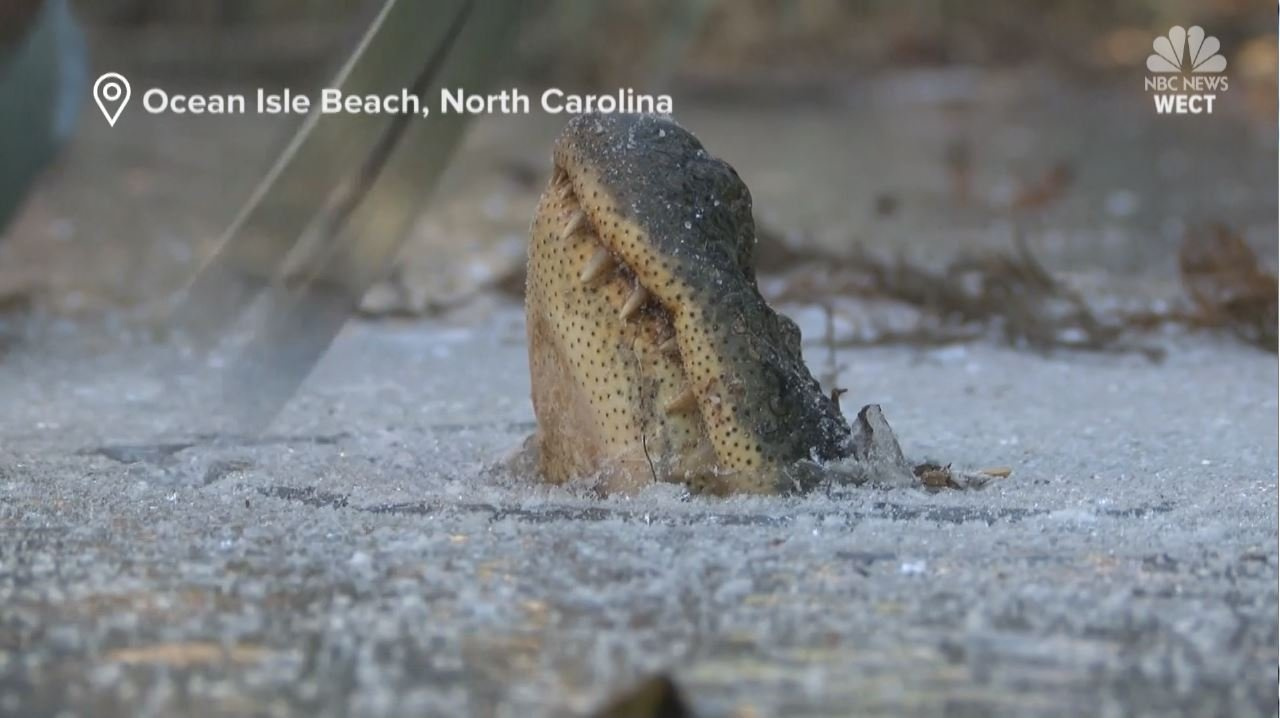 Breathtaking video shows group of alligators surviving frozen NC river