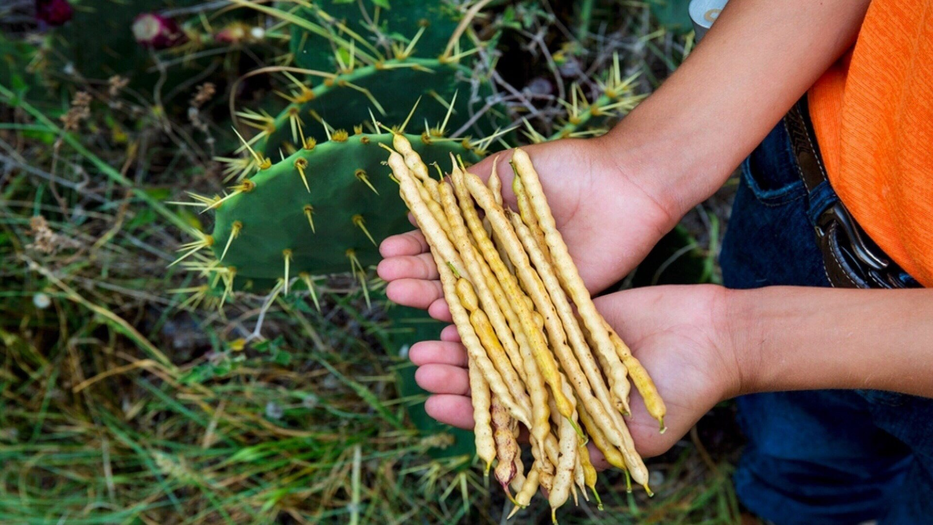 Mesquite beans proved to be a great choice for making vodka, they contain lots of sugar, and there are lots of mesquite trees in in South Texasre @