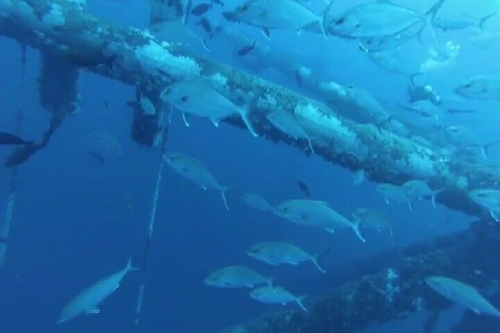 (Harte Research Institute) File Photo: April 2015 Fish school around oil rig in the gulf.