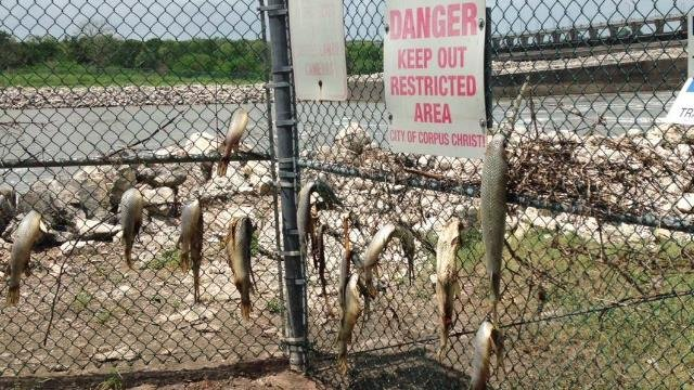 Texas Parks & Wildlife believe alligator gar became stuck in fence while trying to swim against flood currents. (KRIS)