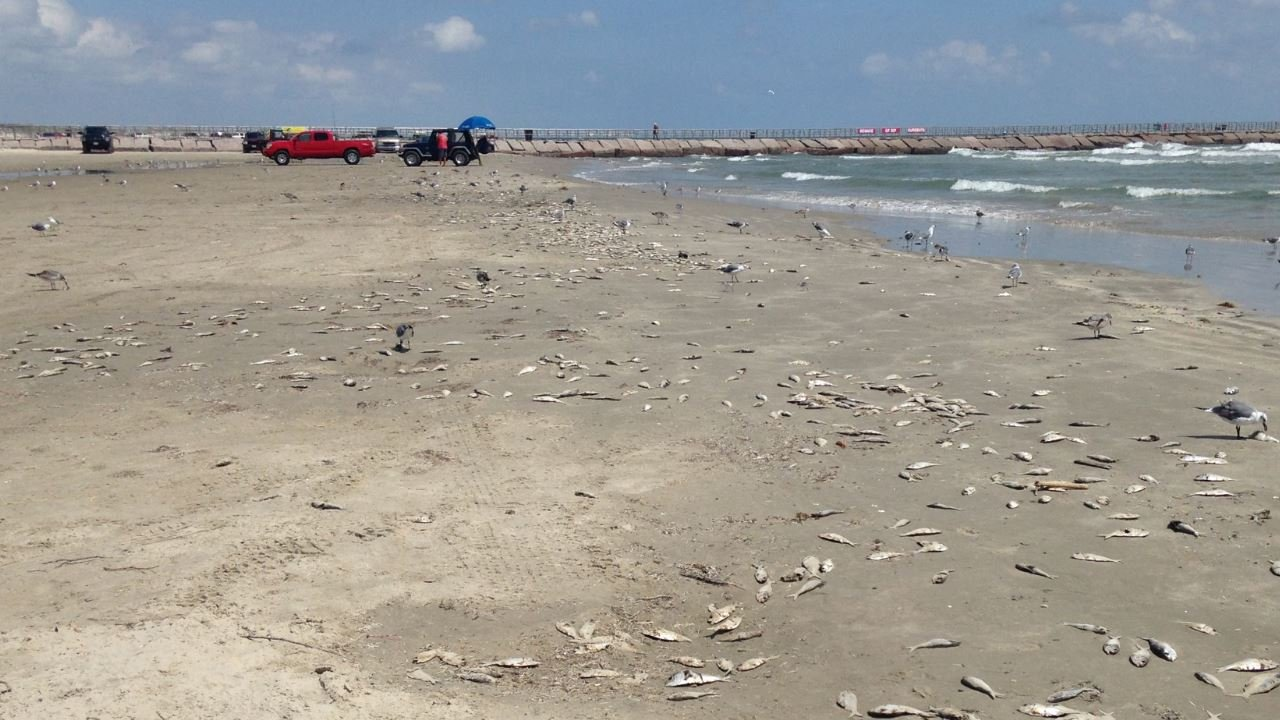 Dead fish at Packery Channel on the Gulf of Mexico. (KZTV)