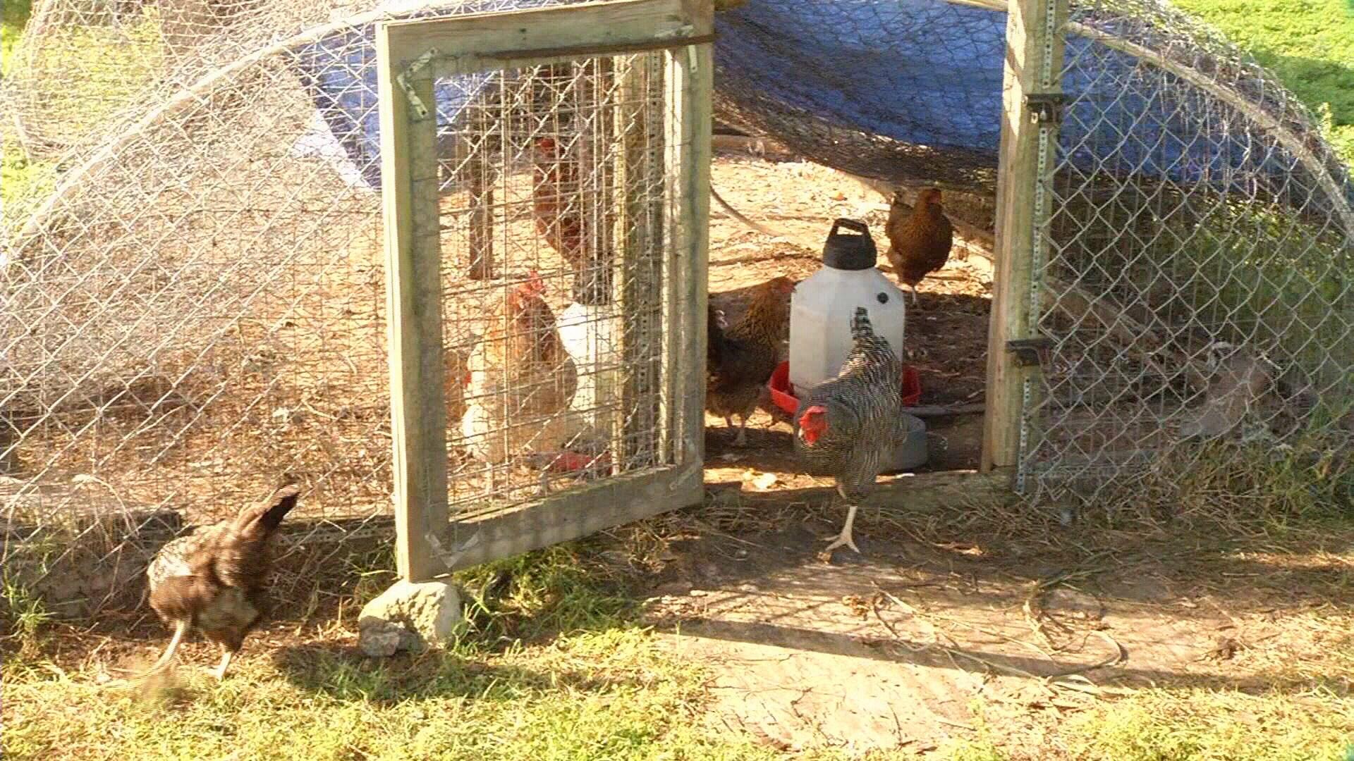 backyard poultry production workshop kristv com continuous