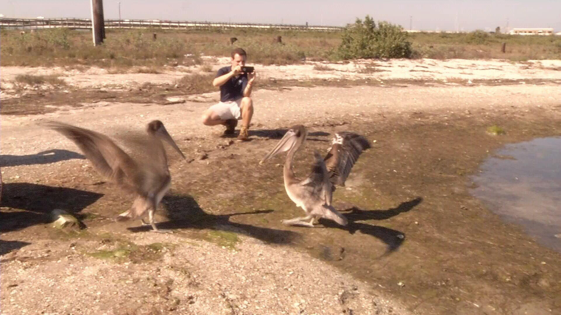 Texas State Aquarium releases 2 brown pelicans, 1 great blue her ...